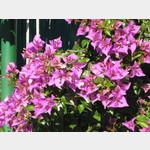 06031079-Giardini Naxos-Bluetenpracht