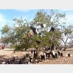 Die berümten Ziegen auf den Aganien-Bäumen