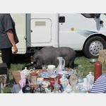 Das Schwein, dein treuer Begleiter!