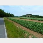 9 - blühende Kartoffelfelder am Elberadweg bei Reppina