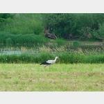 21 - ein Storch an der Elbe kurz nach Grödel