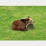 19 - Torgau, Bär im Bärengraben beim Schloss Hartenfels