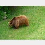 20 - Torgau, Bär im Bärengraben beim Schloss Hartenfels