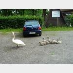 6 - Schwanfamilie am Campingpark -Großer Lausiger Teich-